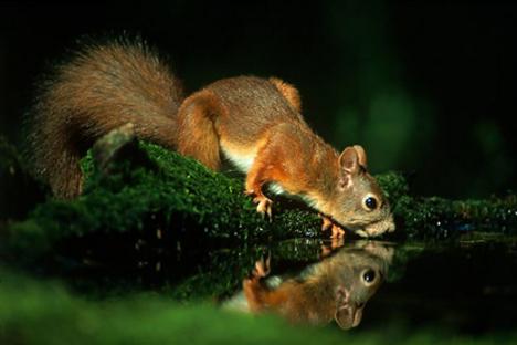 szomjas mókus vízivás